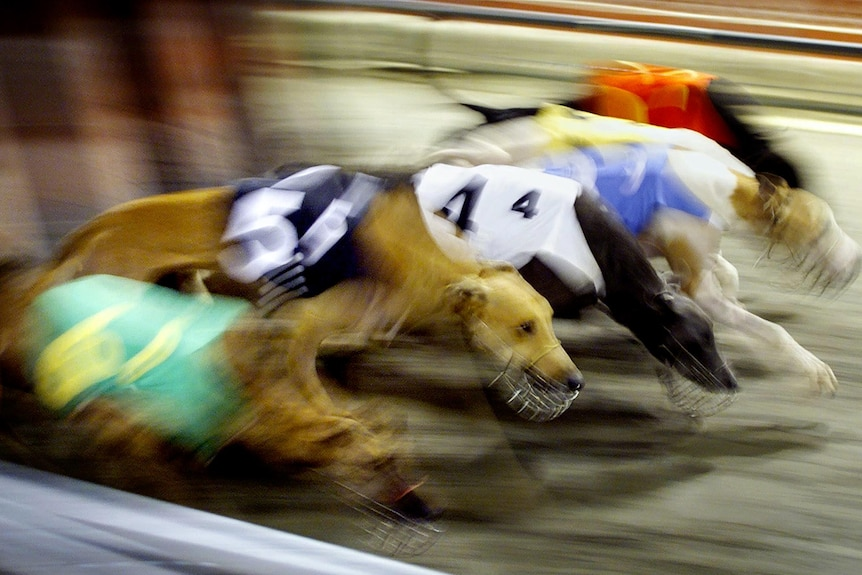 Greyhounds burst out of the starting gates.