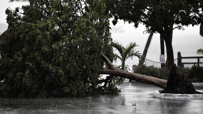A tree lies in a marina parking lot in Florida after being downed by Tropical Storm Isaac.