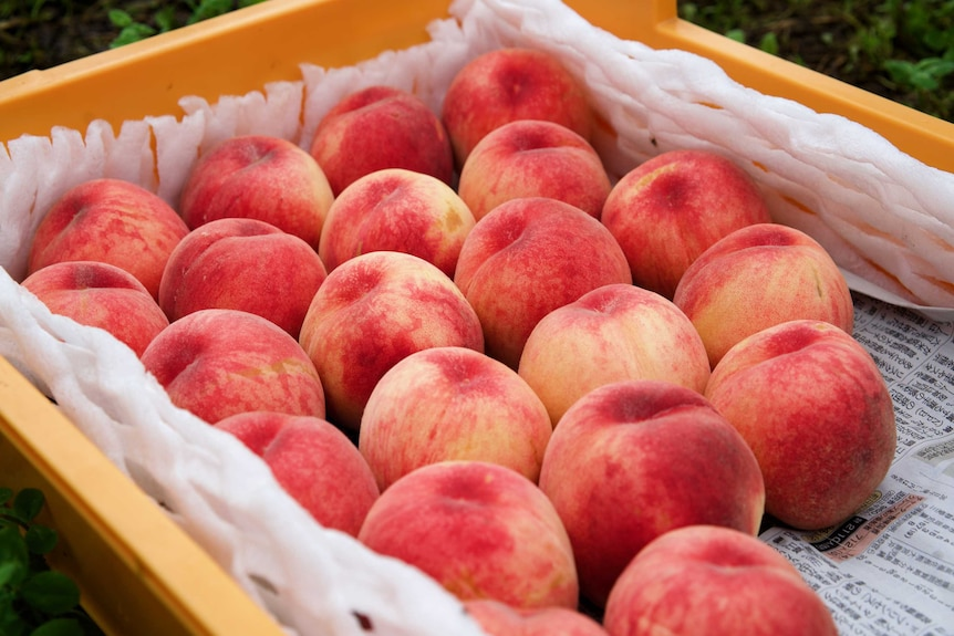 A tray of perfect peaches