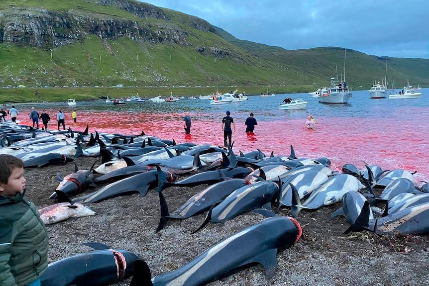 Faeroe Islands dolphin slaughter