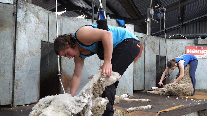 Two young men in a woolshed shearing sheep.