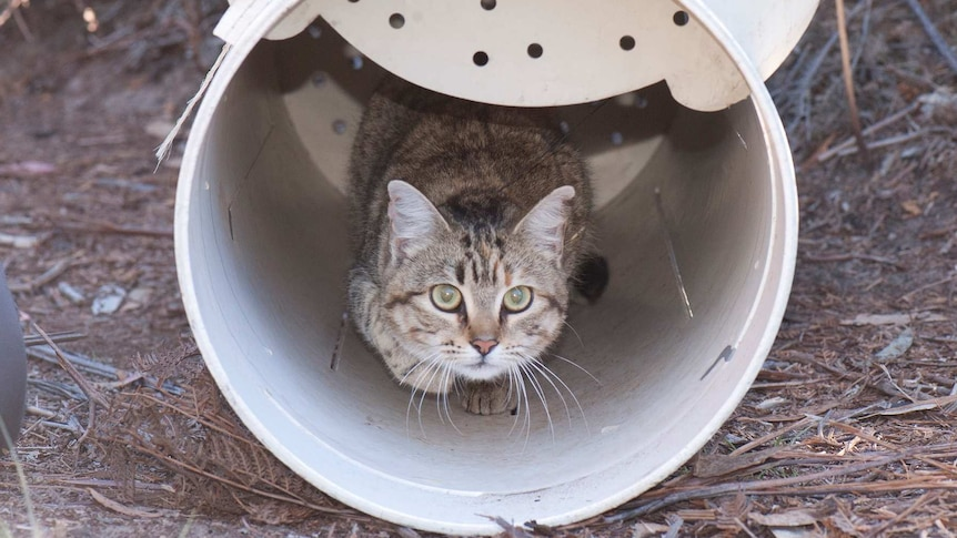A feral cat with a GPS collar looks out of a plastic tube.