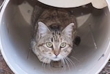 Feral cat with a GPS collar looks out of a plastic tube.