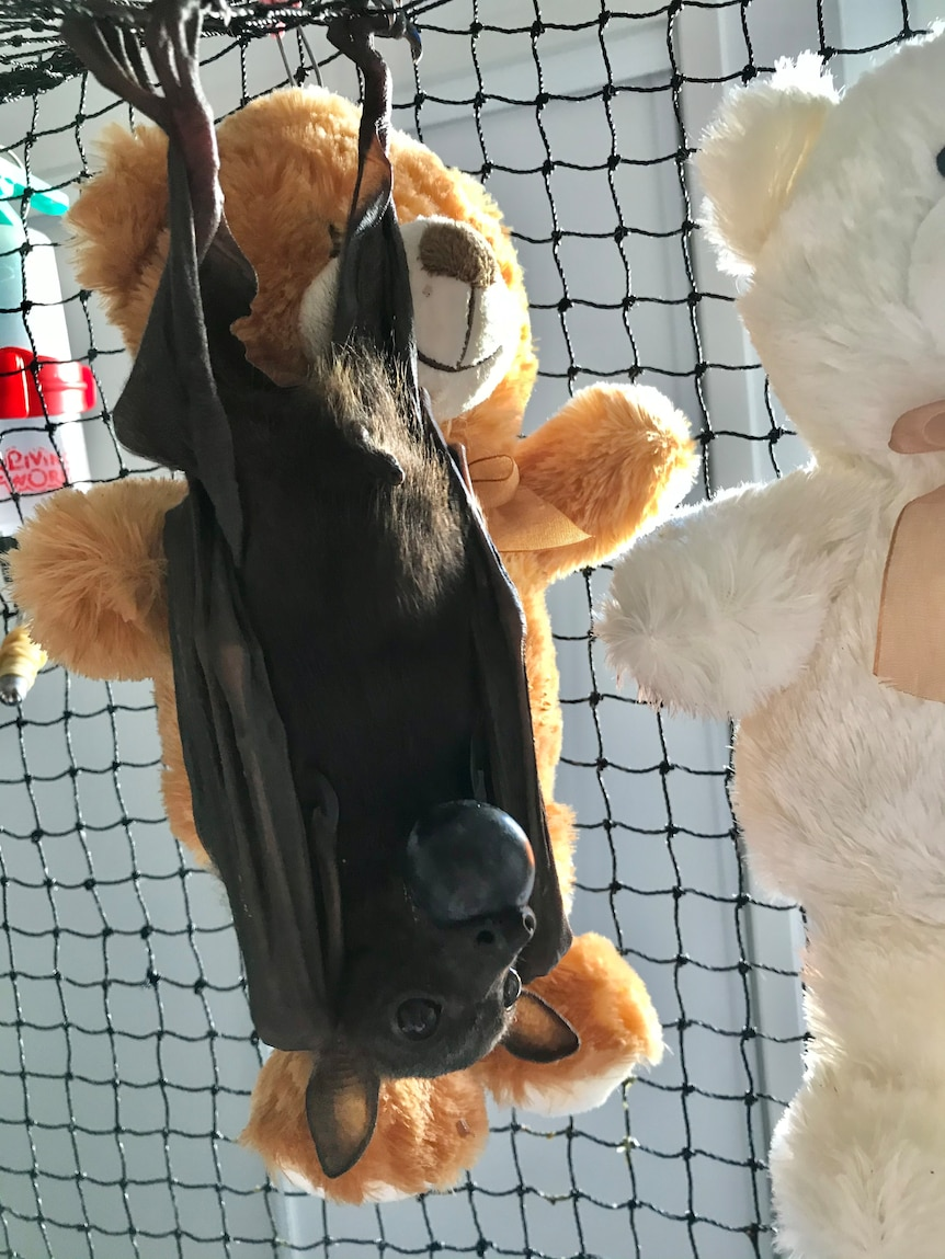 A small bat eats a black grape while hanging upside down next to a brown teddy bear