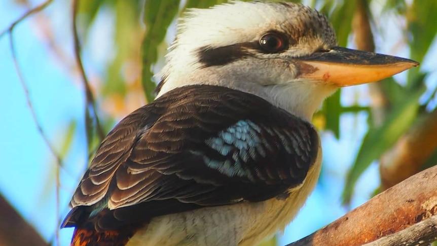 A close up of a laughing kookaburra.