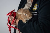 Airport rabbit with RSPCA