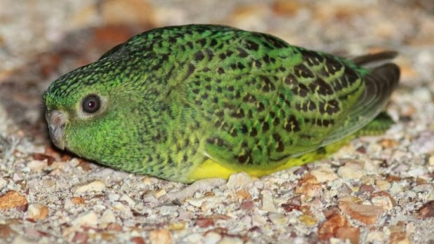 The night parrot is under threat from feral cats,