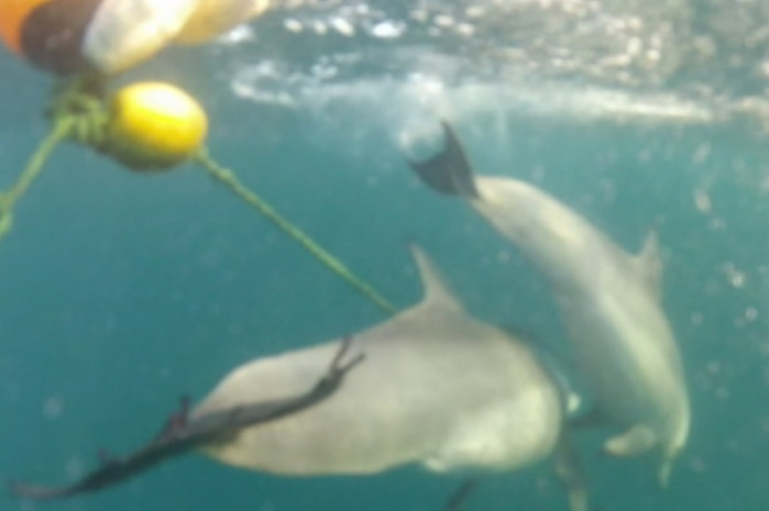 A dolphin tangled in a drumline.