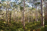 Karri forest in the south west of Western Australia