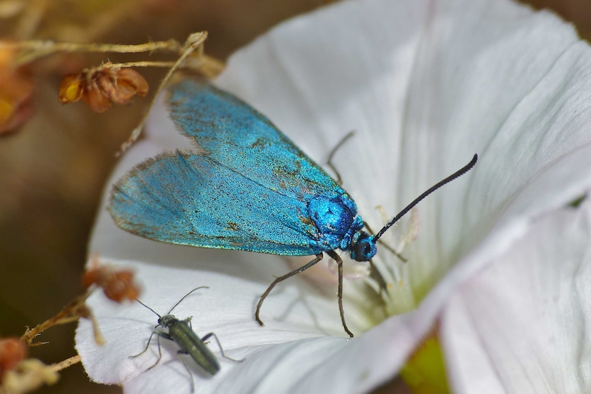 A shiny blue moth on a white flower