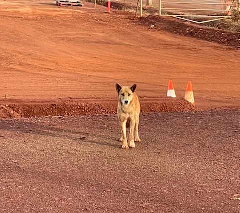 Dingo standing in red dirt of mine site