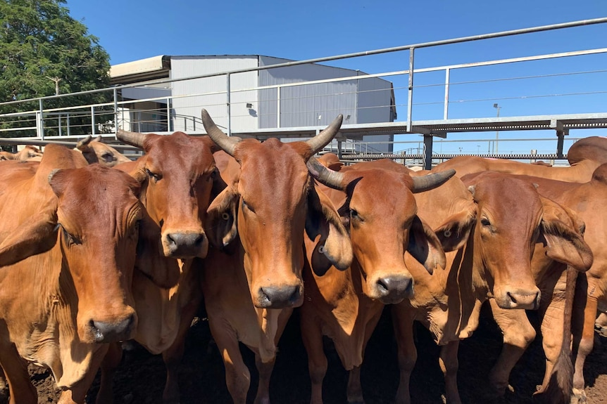 A close up of red brahman cattle in a pen at the Charters Towers saleyards