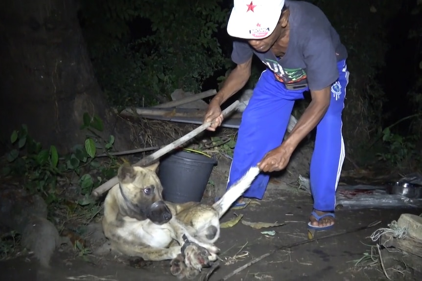 A dog catcher in Bali prepares to kill a dog