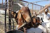 Boer goats at Moselle Downs feedlot, Richmond