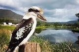 A kookaburra perched on a post.