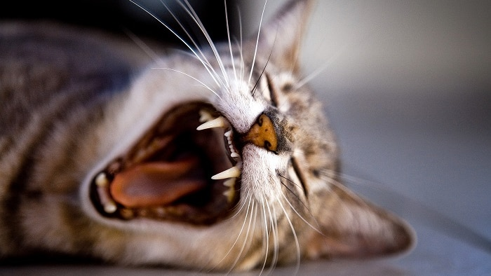 Cat lying down with an open mouth
