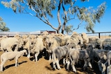 Sheep standing under a tree in yards looking at camera