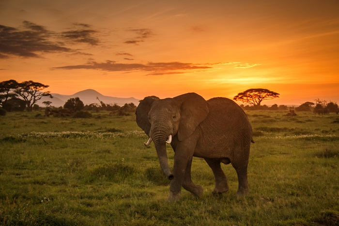 An elephant looks at the camera with the sun setting behind