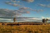 Cattle grazing in a paddock at Ambalindum with a mountain in the background.