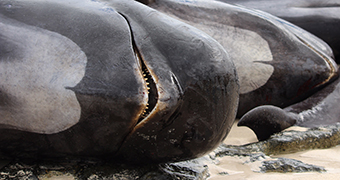 A dead whale lies on a beach