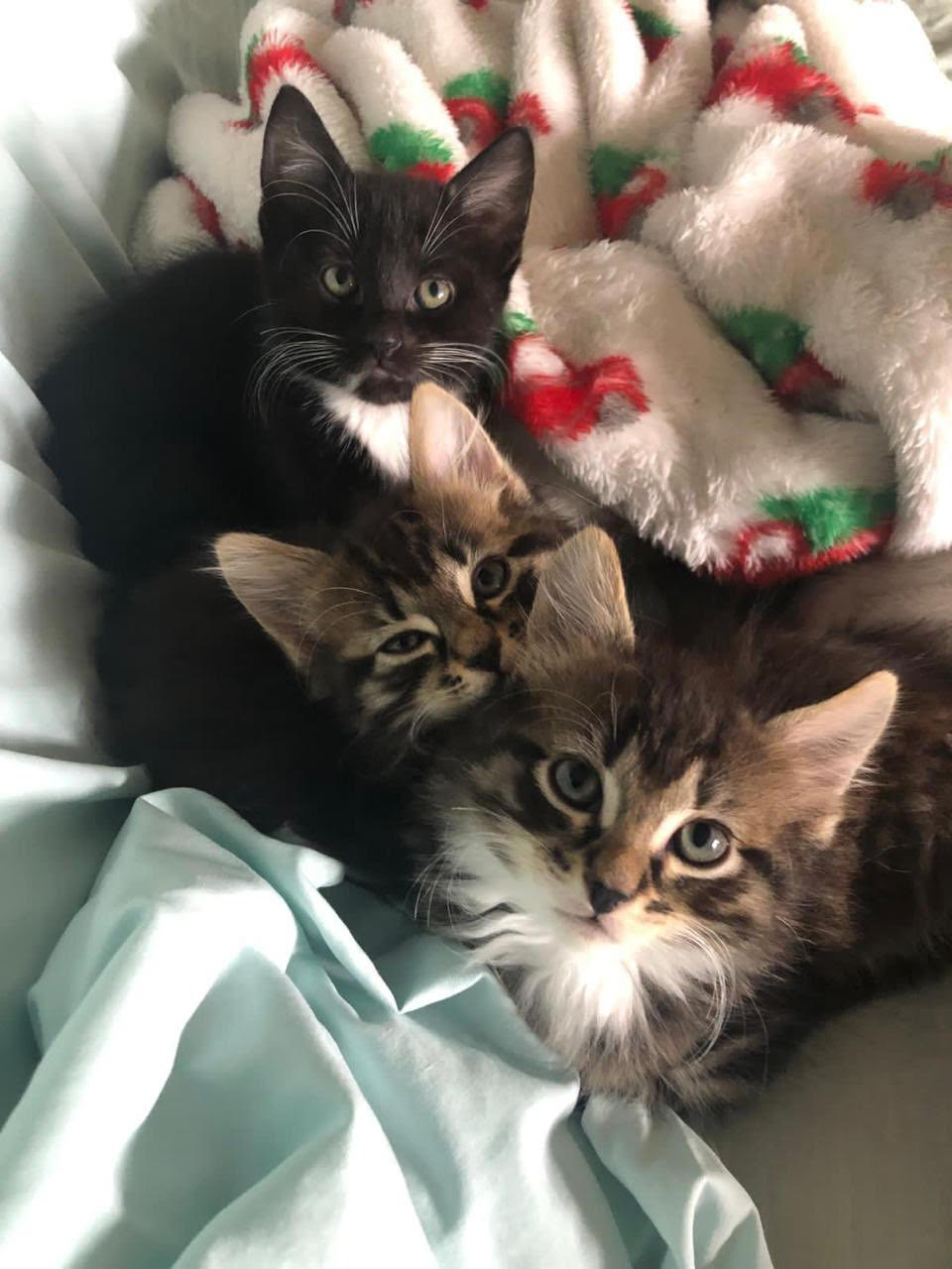 Holly Creenaune and Randi Irwin's foster kittens Elton, Cannondale, and Malika.