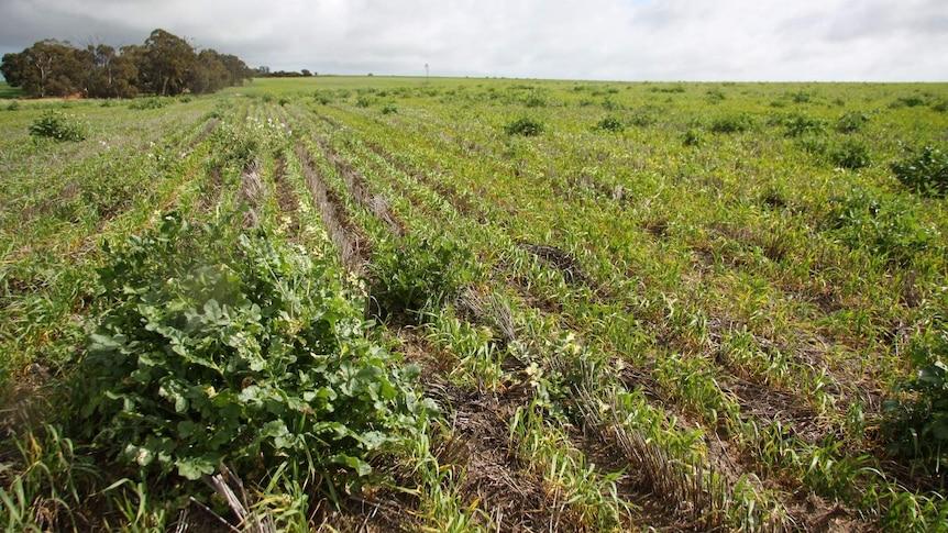 Herbicide resistant wild radish