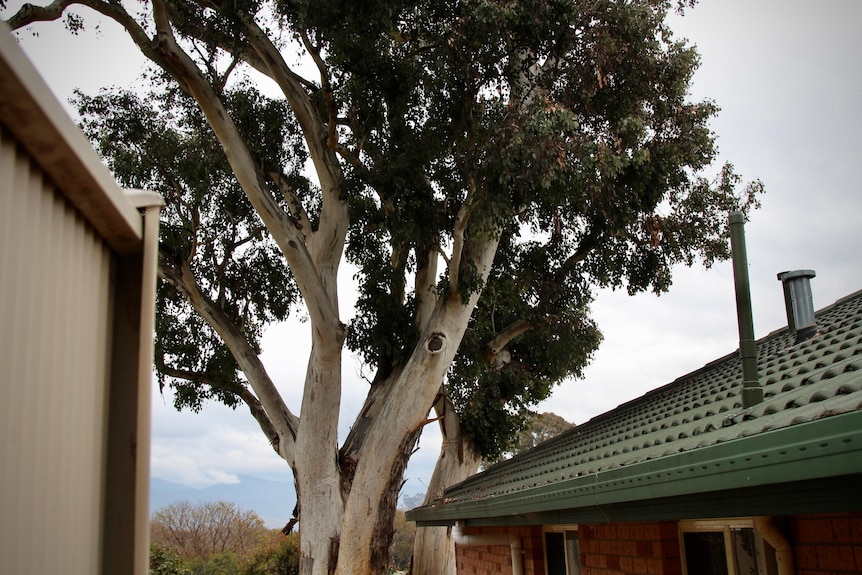A large gumtree stands a few centimetres away from a brick home.
