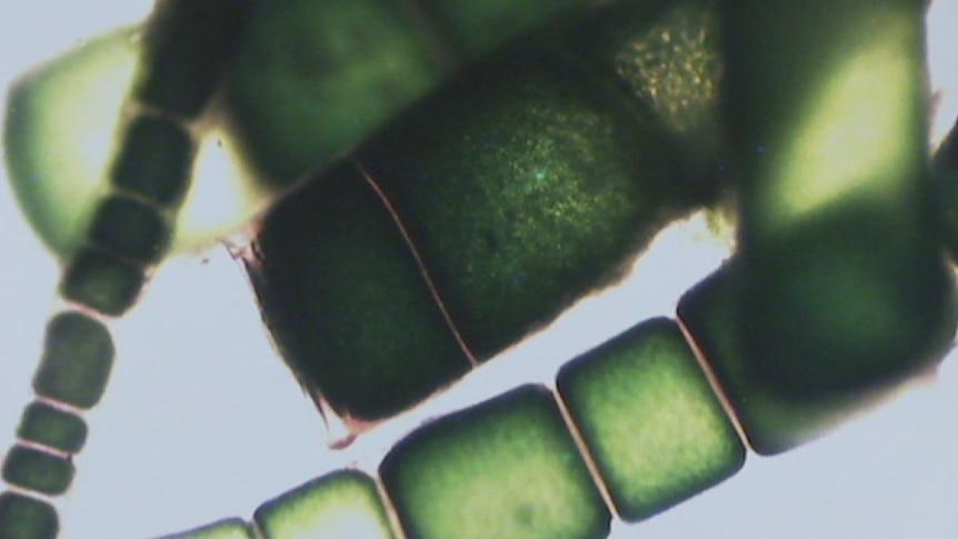 Seaweed cells