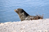A fur seal in the Corrong in South Australia.