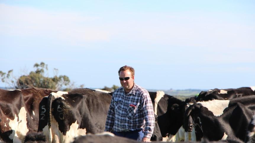 In a blue checked flannelette shirt, dairy farmer Nicholas Reynard walks among his black and white cows beneath a clear blue sky