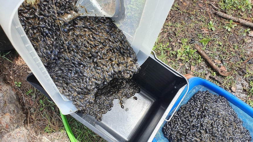 Thousands of cane toad tadpoles poured into a bucket from a track.