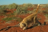 A feral cat runs away from a kangaroo carcass.