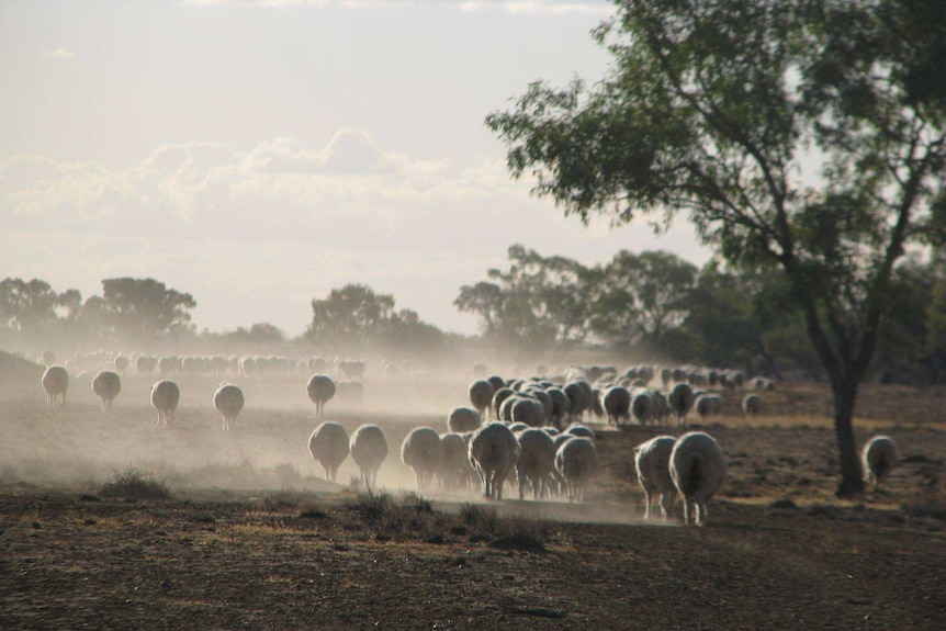 The sheep are mustered in for shearing.