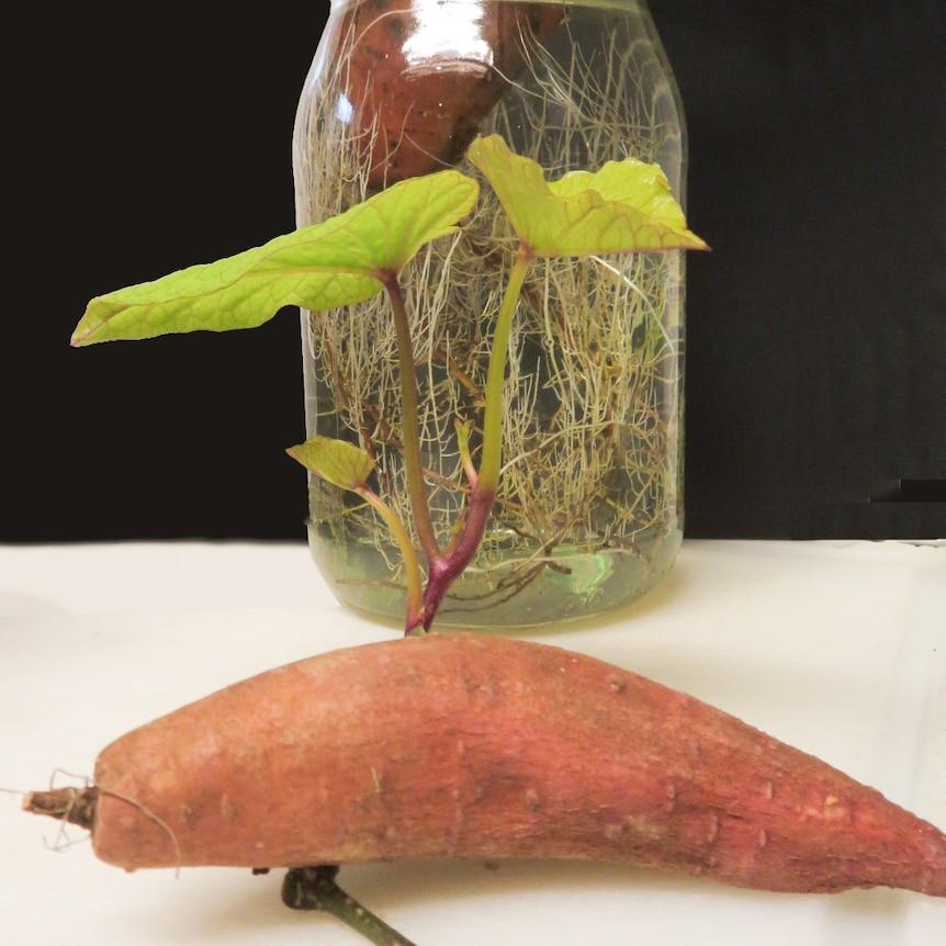 Foliage growing on sweet potato tuber