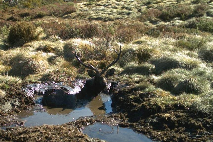 Sambar Deer in the Bogong High Plains