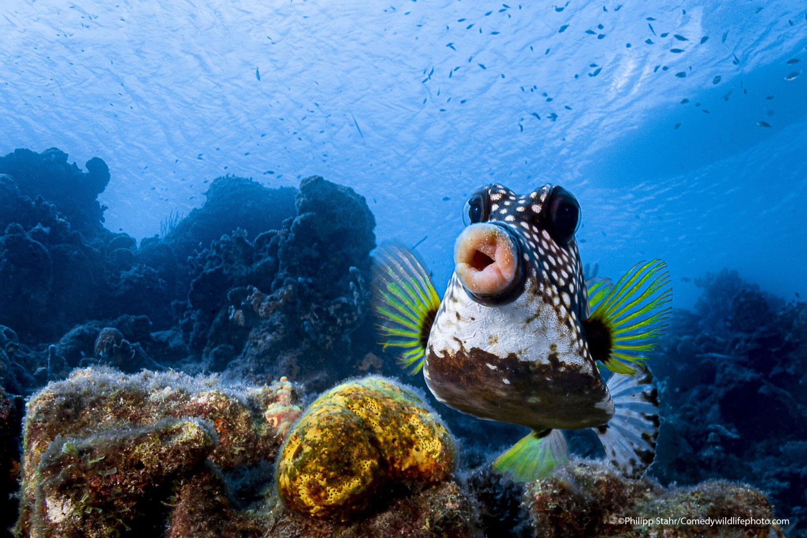 A boxfish off the coast of Curaçao looks like it's pouting for the camera.