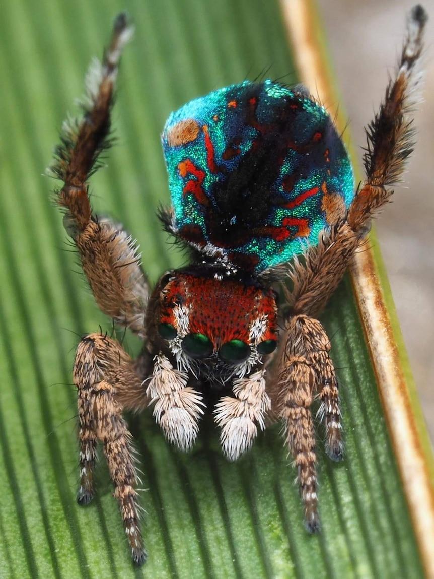 The Maratus laurenae spider