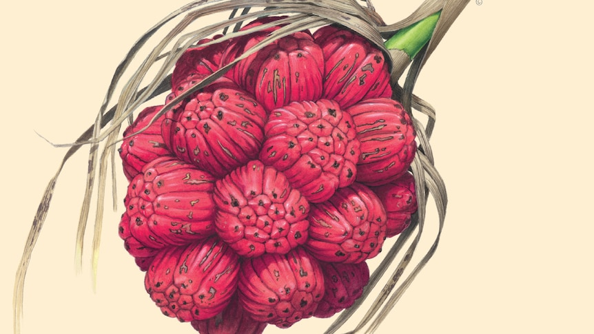 A painting of a clump of red seed pods on a green stem