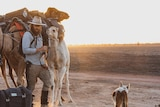 A man wearing a wide brim hat, sunglasses , long pants and boots is checking two camels, as the sun sets. With a dog lingering