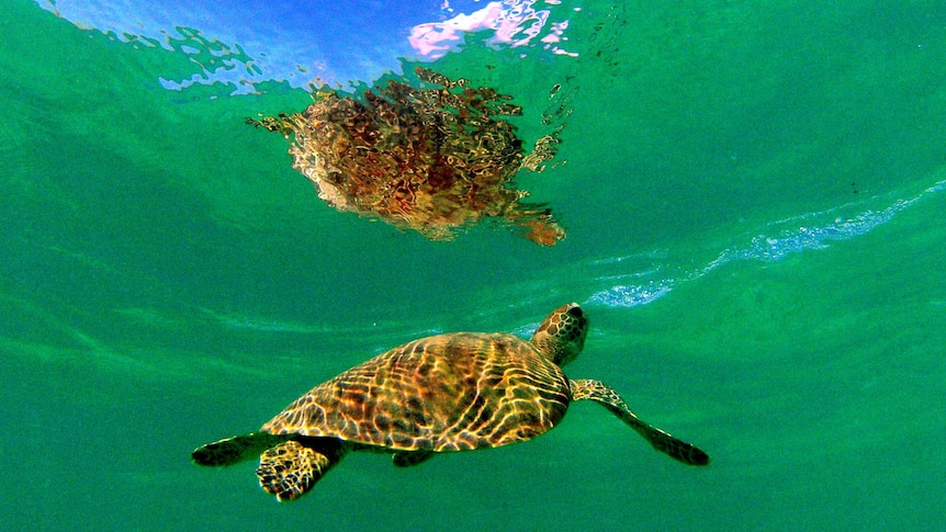 A large turtle swims in green water.