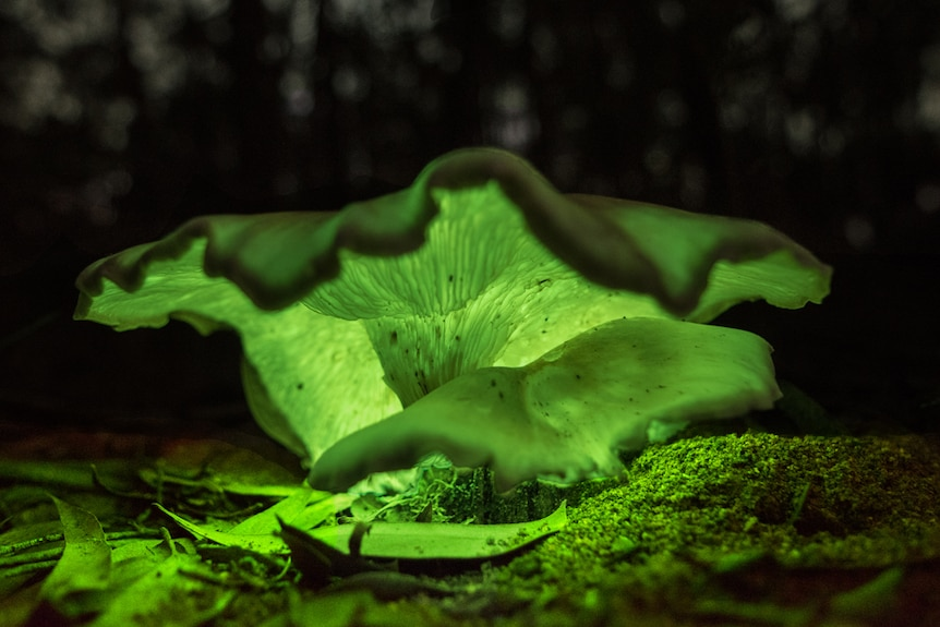 A ghost mushroom glows green in the forest.