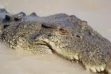 A crocodile's head surfaces a muddy river.