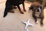 Dogs Layla and Jed behind a quadcopter they chewed up after it landed in their backyard