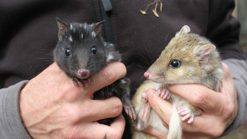 Two eastern quolls