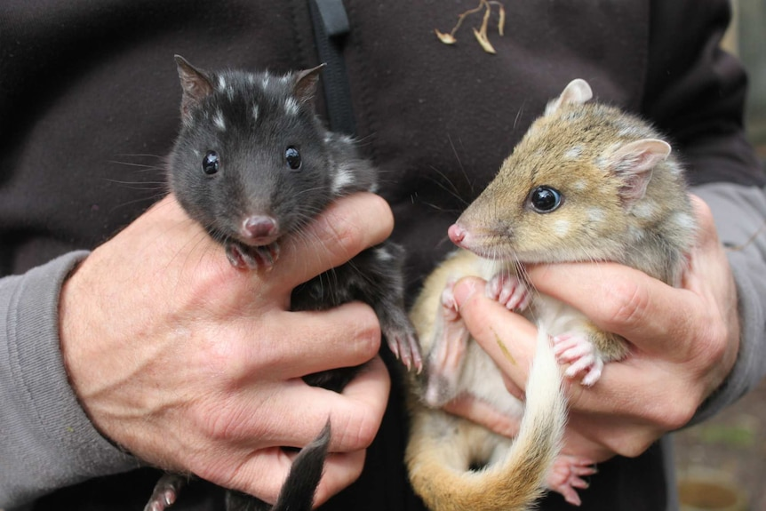 Two eastern quolls being held by a person.