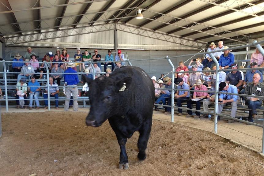Angus bull in auction yard