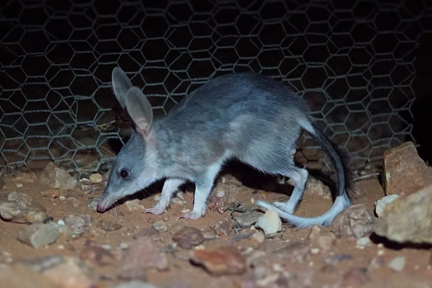 Grey furry bilby with long snout, tall ears and long tail sniffs the rocky ground in the darkness