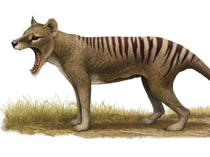 An illustration of a Tasmanian tiger with its mouth open.