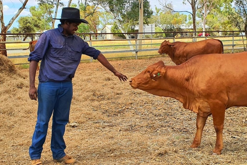 Young indigenous man patting a heifer on the nose