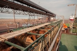 Cattle arrive at the Darwin port